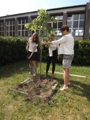 Na terenie Publicznej Szkoły Podstawowej nr 9 im. Jana Kochanowskiego, społeczność uczniowska zasadziła lipę, drzewo-symbol patrona placówki.