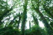 W Sochach pięknych topoli jest więcej, a ich pnie oplatają pnącza, co tworzy niezwykły widok.