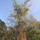 Stalowa Wola: 18 drzew w Stalowej Woli ma szanse na status pomnika przyrody