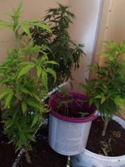 W kanale garażu znajdowały się doniczki z roślinami przypominającymi marihuanę.