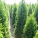 Stalowa Wola: Thuje do ogrodu - które odmiany wybrać?