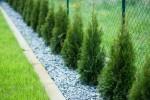 Thuja szmaragd rośnie z gracją do góry i idealnie sprawdza się jako żywopłot w nowoczesnym ogrodzie.
