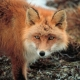 Stalowa Wola: Na terenie Stalowej Woli można spotkać lisy